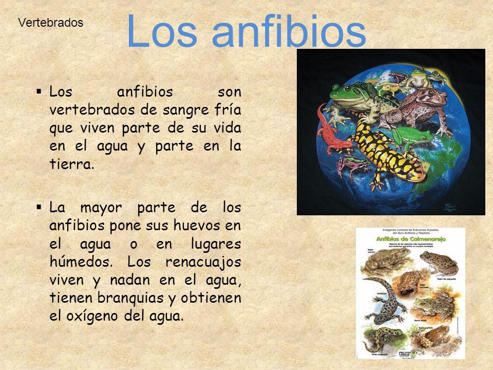 Vertebrados Los anfibios son vertebrados de sangre fría que viven parte de su vida en el agua y parte en la tierra. La mayor parte de los anfibios pon