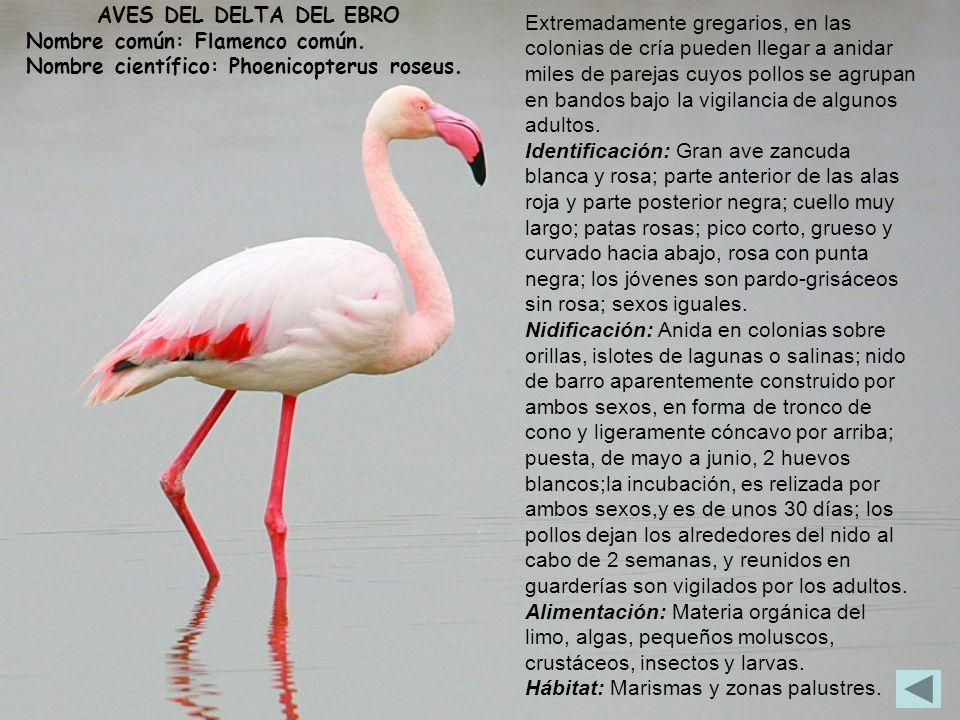 AVES DEL DELTA DEL EBRO Nombre común: Flamenco común. Nombre científico: Phoenicopterus roseus. Extremadamente gregarios, en las colonias de cría pued