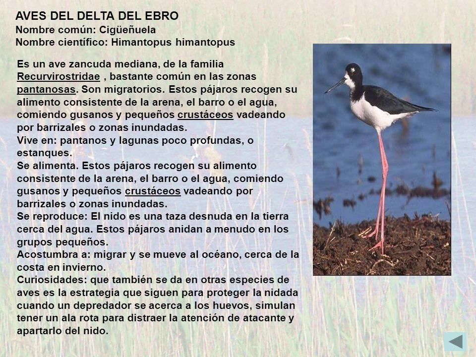 AVES DEL DELTA DEL EBRO Nombre común: Cigüeñuela Nombre científico: Himantopus himantopus Es un ave zancuda mediana, de la familia Recurvirostridae, b