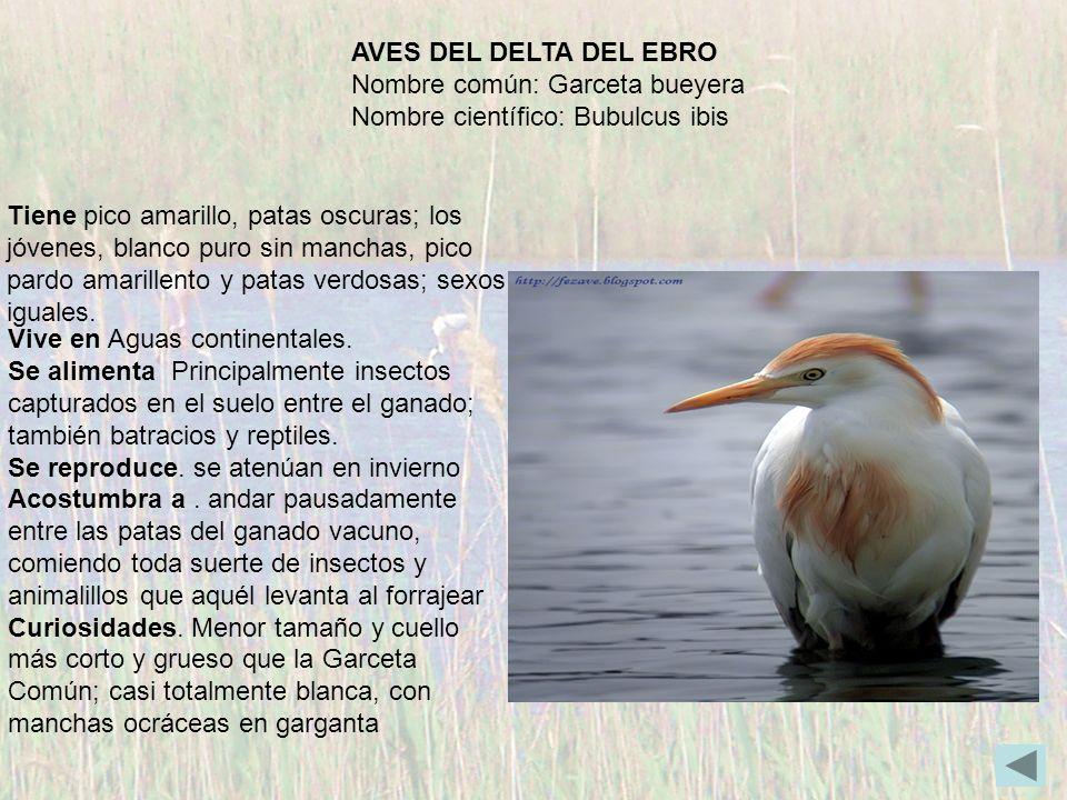 AVES DEL DELTA DEL EBRO Nombre común: Garceta bueyera Nombre científico: Bubulcus ibis Tiene pico amarillo, patas oscuras; los jóvenes, blanco puro si