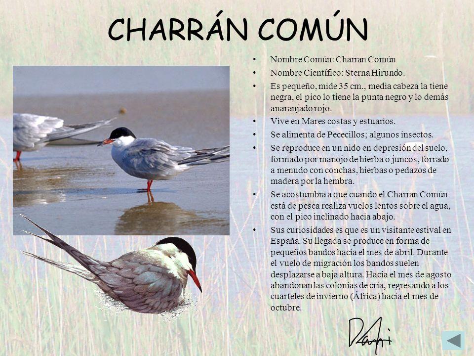 CHARRÁN COMÚN Nombre Común: Charran Común Nombre Científico: Sterna Hirundo. Es pequeño, mide 35 cm., media cabeza la tiene negra, el pico lo tiene la