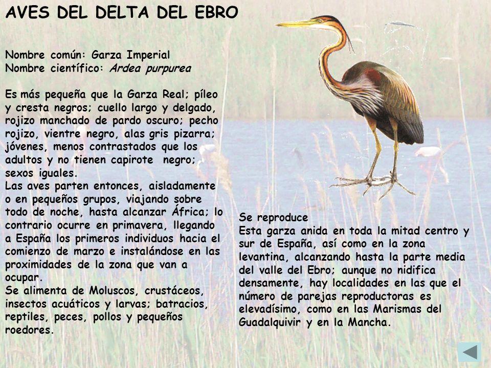 Nombre común: Garza Imperial Nombre científico: Ardea purpurea Es más pequeña que la Garza Real; píleo y cresta negros; cuello largo y delgado, rojizo