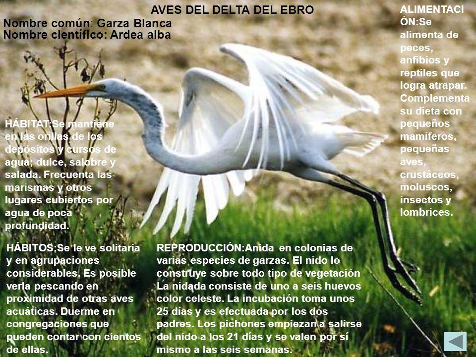 AVES DEL DELTA DEL EBRO Nombre común: Garza Blanca Nombre científico: Ardea alba HÁBITAT:Se mantiene en las orillas de los depósitos y cursos de agua;