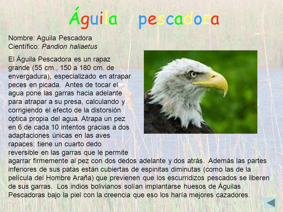 Águila pescadora Nombre: Aguila Pescadora Científico: Pandion haliaetus El Águila Pescadora es un rapaz grande (55 cm., 150 a 180 cm. de envergadura),