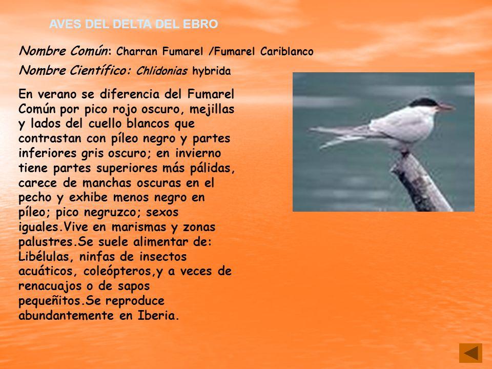 Nombre Común: Charran Fumarel /Fumarel Cariblanco Nombre Científico: Chlidonias hybrida En verano se diferencia del Fumarel Común por pico rojo oscuro