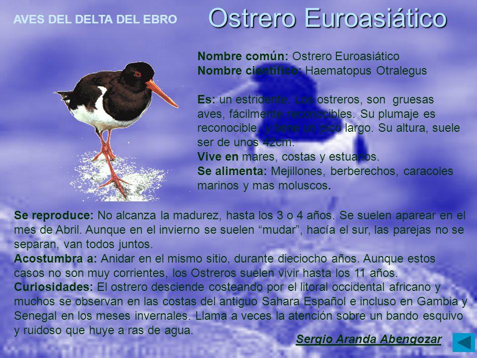 Ostrero Euroasiático Sergio Aranda Abengozar Se reproduce: No alcanza la madurez, hasta los 3 o 4 años. Se suelen aparear en el mes de Abril. Aunque e
