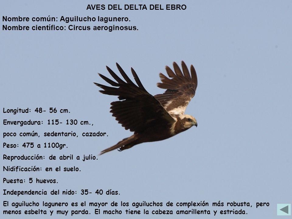 Longitud: 48- 56 cm. Envergadura: 115- 130 cm., poco común, sedentario, cazador. Peso: 475 a 1100gr. Reproducción: de abril a julio. Nidificación: en