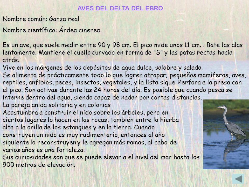 Nombre común: Garza real Nombre científico: Árdea cinerea Es un ave, que suele medir entre 90 y 98 cm. El pico mide unos 11 cm.. Bate las alas lentame