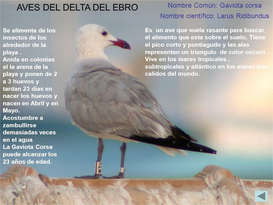 Nombre Común: Gaviota corsa Nombre científico: Larus Ridibundus AVES DEL DELTA DEL EBRO Es un ave que vuela rasante para buscar el alimento que esta s