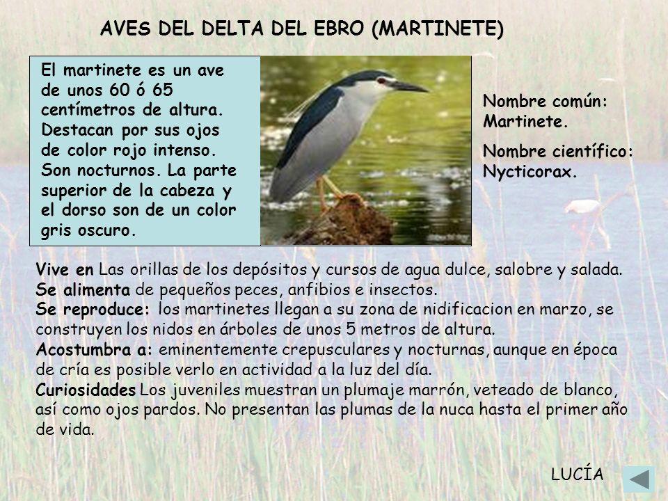 AVES DEL DELTA DEL EBRO (MARTINETE) El martinete es un ave de unos 60 ó 65 centímetros de altura. Destacan por sus ojos de color rojo intenso. Son noc