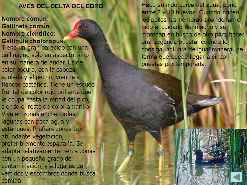 Tiene un gran parecido con una gallina, no sólo en aspecto, sino en su manera de andar. Es de color oscuro, con la cabeza azulada y el pecho, vientre