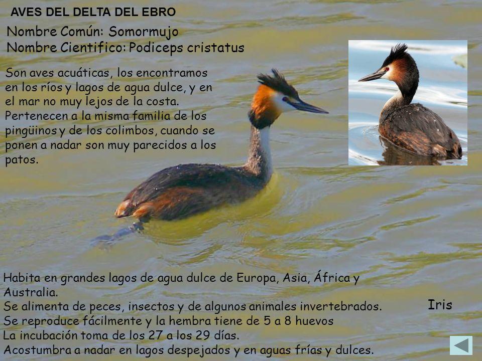 Nombre Común: Somormujo Nombre Cientifico: Podiceps cristatus Habita en grandes lagos de agua dulce de Europa, Asia, África y Australia. Se alimenta d