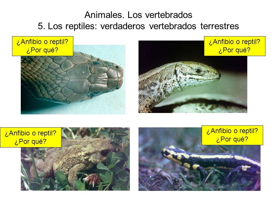 Animales.Los vertebrados 5. Los reptiles: verdaderos vertebrados terrestres ¿Anfibio o reptil.