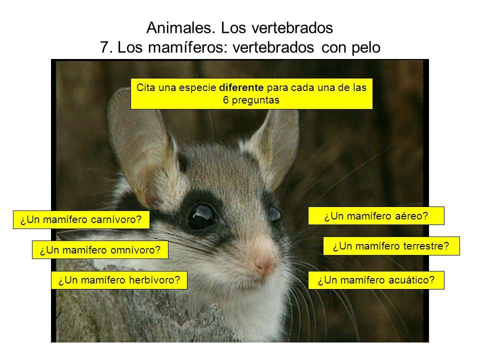 Animales.Los vertebrados 7. Los mamíferos: vertebrados con pelo ¿Un mamífero aéreo.