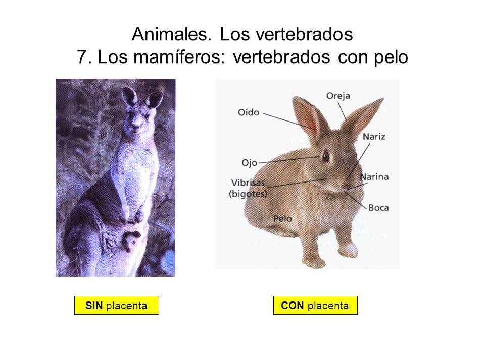 Animales. Los vertebrados 7. Los mamíferos: vertebrados con pelo SIN placentaCON placenta