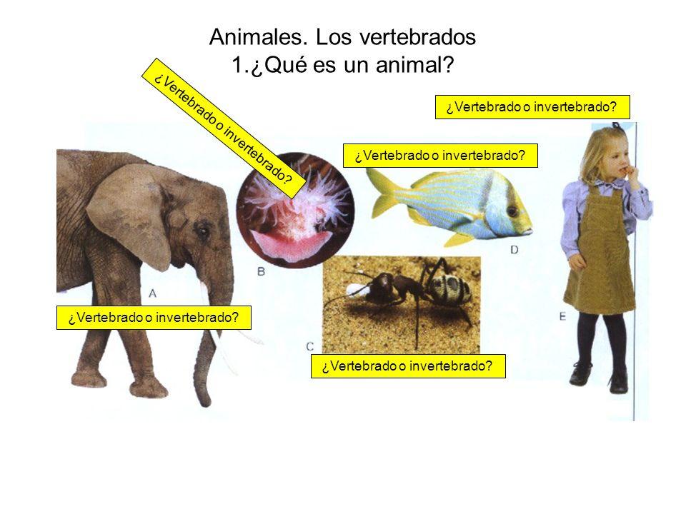 Animales. Los vertebrados 1.¿Qué es un animal? ¿Vertebrado o invertebrado?