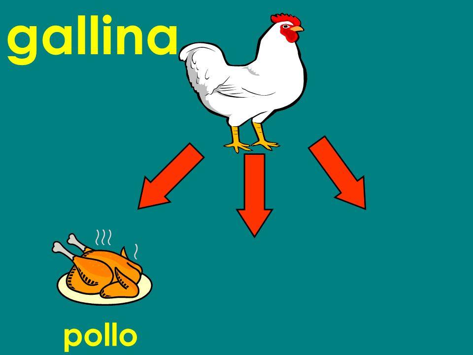 pollo gallina