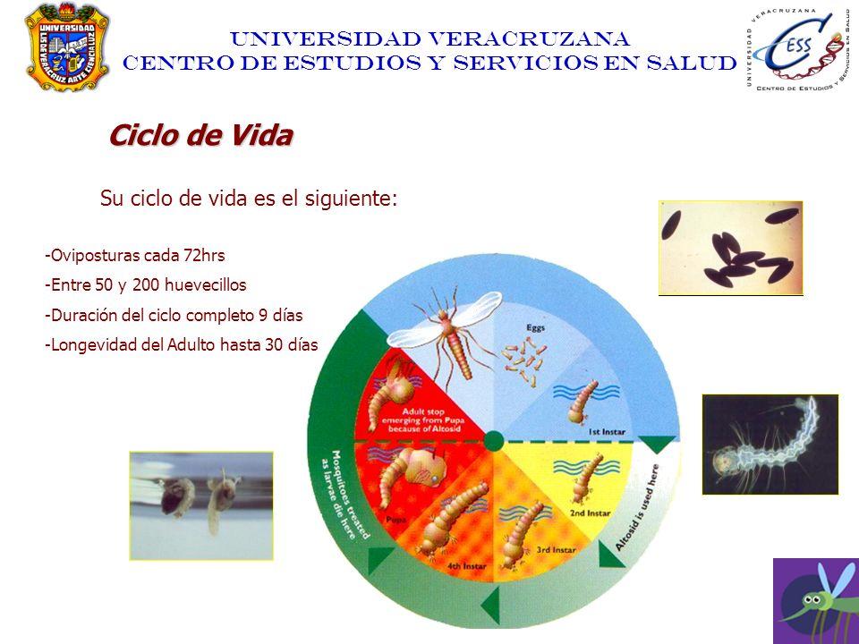 UNIVERSIDAD VERACRUZANA CENTRO DE ESTUDIOS Y SERVICIOS EN SALUD Ciclo de Vida Su ciclo de vida es el siguiente: -Oviposturas cada 72hrs -Entre 50 y 20