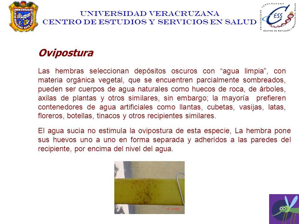 UNIVERSIDAD VERACRUZANA CENTRO DE ESTUDIOS Y SERVICIOS EN SALUD Ovipostura Las hembras seleccionan depósitos oscuros con agua limpia, con materia orgá