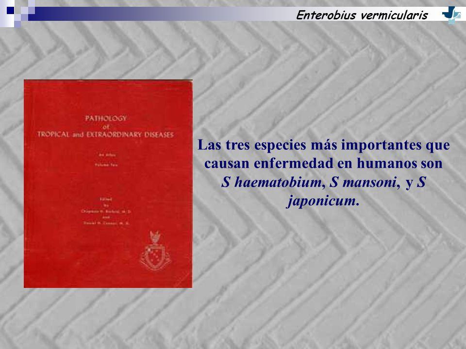 Enterobius vermicularis Las tres especies más importantes que causan enfermedad en humanos son S haematobium, S mansoni, y S japonicum.