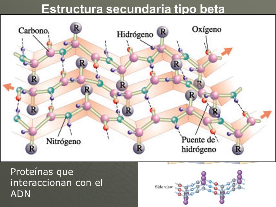 Estructura secundaria tipo beta Proteínas que interaccionan con el ADN