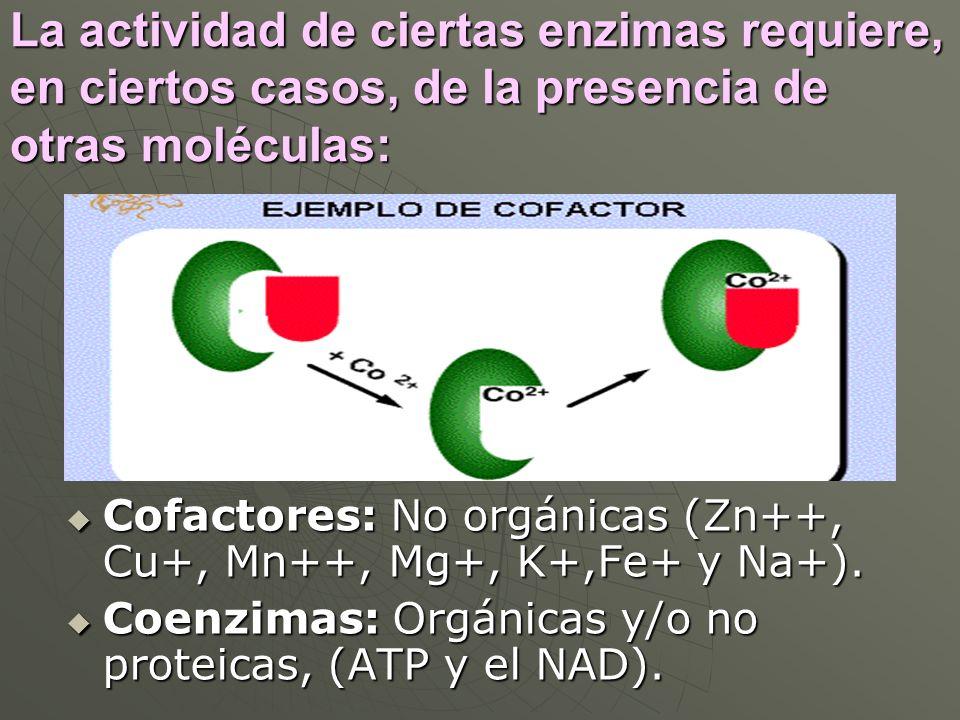 La actividad de ciertas enzimas requiere, en ciertos casos, de la presencia de otras moléculas: Cofactores: No orgánicas (Zn++, Cu+, Mn++, Mg+, K+,Fe+