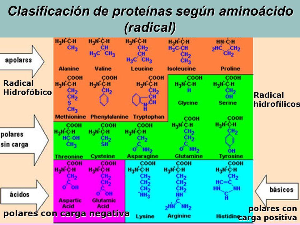 Radical Hidrofóbico Radical hidrofílicos polares con carga negativa polares con carga positiva Clasificación de proteínas según aminoácido (radical)
