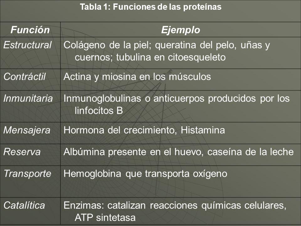 Tabla 1: Funciones de las proteínas FunciónEjemplo EstructuralColágeno de la piel; queratina del pelo, uñas y cuernos; tubulina en citoesqueleto Contr