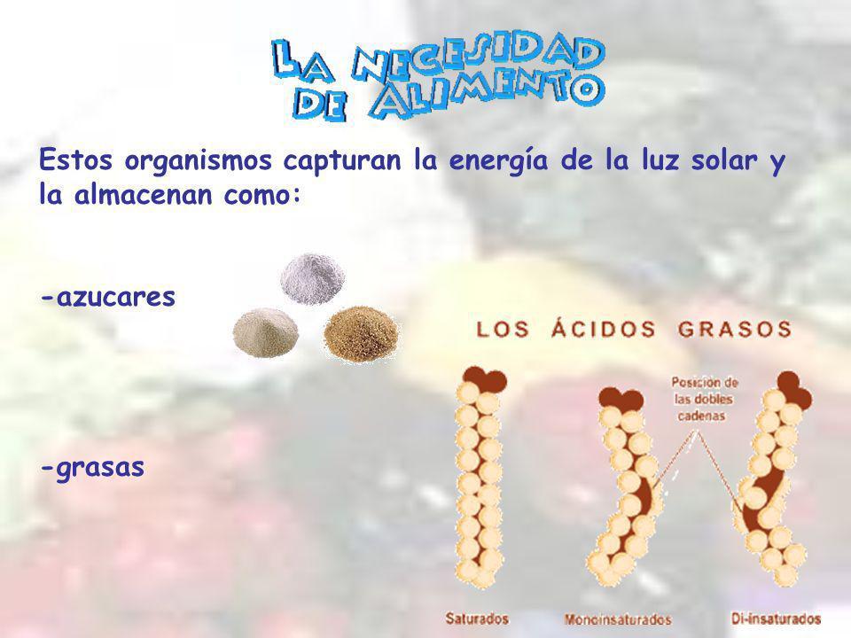 Estos organismos capturan la energía de la luz solar y la almacenan como: -azucares -grasas