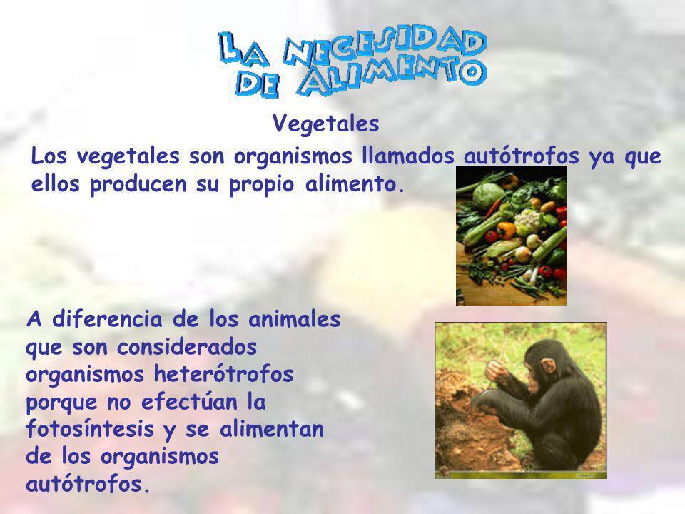 Los vegetales son organismos llamados autótrofos ya que ellos producen su propio alimento.