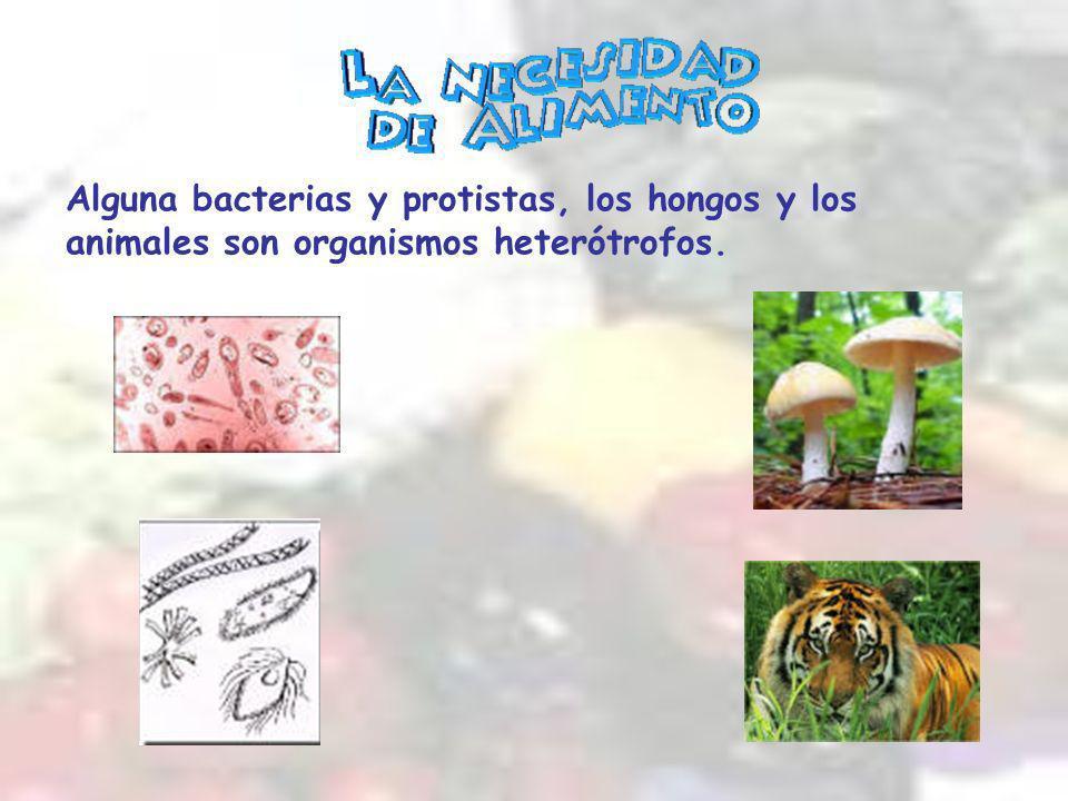 Alguna bacterias y protistas, los hongos y los animales son organismos heterótrofos.