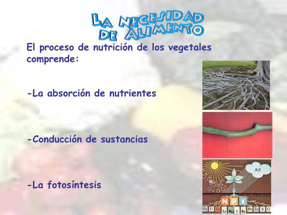 El proceso de nutrición de los vegetales comprende: -La absorción de nutrientes -Conducción de sustancias -La fotosíntesis