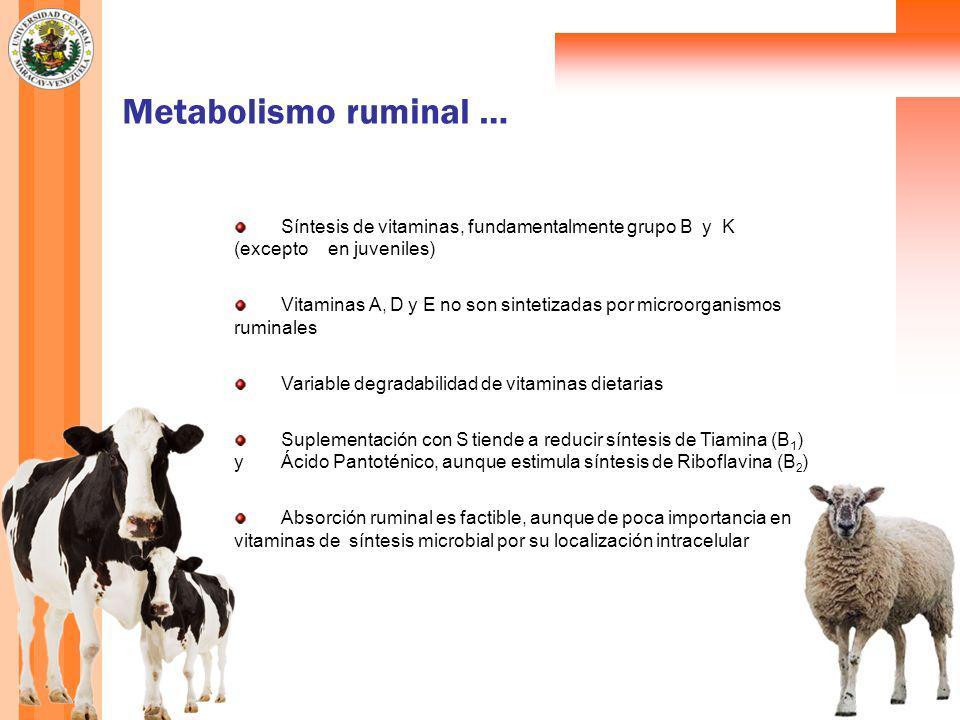 Metabolismo ruminal … Síntesis de vitaminas, fundamentalmente grupo B y K (excepto en juveniles) Vitaminas A, D y E no son sintetizadas por microorganismos ruminales Variable degradabilidad de vitaminas dietarias Suplementación con S tiende a reducir síntesis de Tiamina (B 1 ) y Ácido Pantoténico, aunque estimula síntesis de Riboflavina (B 2 ) Absorción ruminal es factible, aunque de poca importancia en vitaminas de síntesis microbial por su localización intracelular