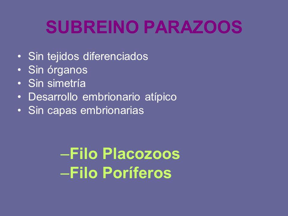 SUBREINO PARAZOOS Sin tejidos diferenciados Sin órganos Sin simetría Desarrollo embrionario atípico Sin capas embrionarias –Filo Placozoos –Filo Poríf