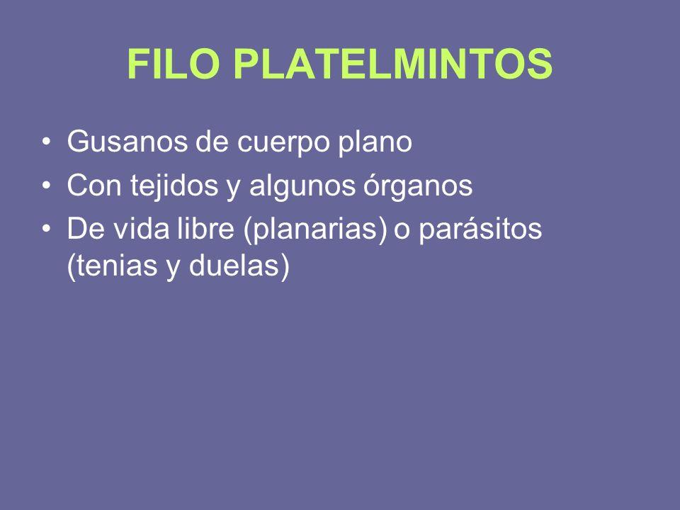 FILO PLATELMINTOS Gusanos de cuerpo plano Con tejidos y algunos órganos De vida libre (planarias) o parásitos (tenias y duelas)