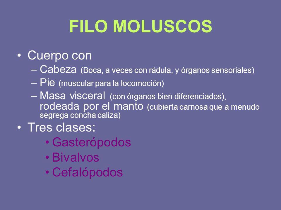 FILO MOLUSCOS Cuerpo con –Cabeza (Boca, a veces con rádula, y órganos sensoriales) –Pie (muscular para la locomoción) –Masa visceral (con órganos bien