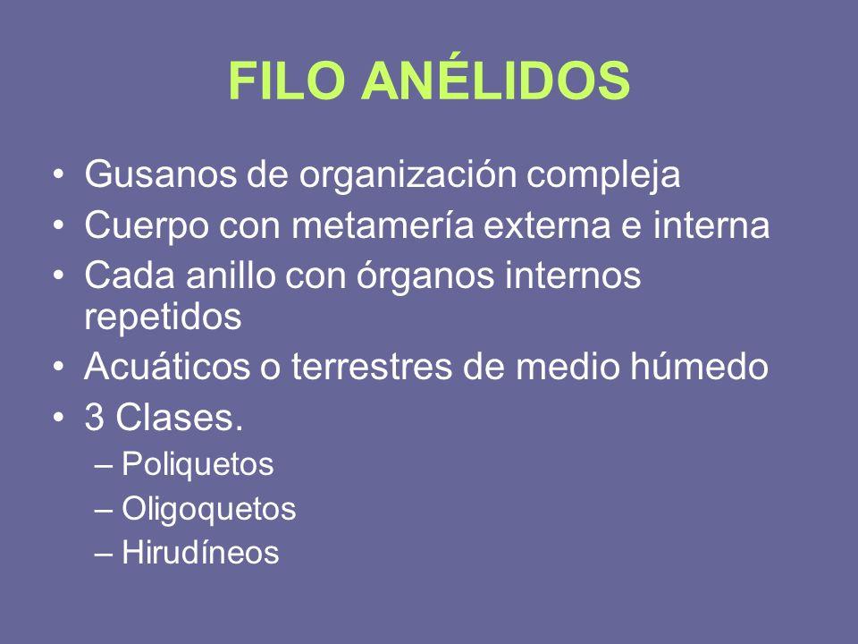 FILO ANÉLIDOS Gusanos de organización compleja Cuerpo con metamería externa e interna Cada anillo con órganos internos repetidos Acuáticos o terrestre