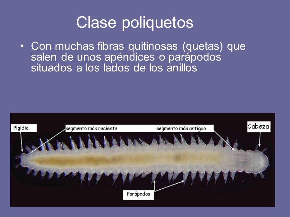 Con muchas fibras quitinosas (quetas) que salen de unos apéndices o parápodos situados a los lados de los anillos Clase poliquetos