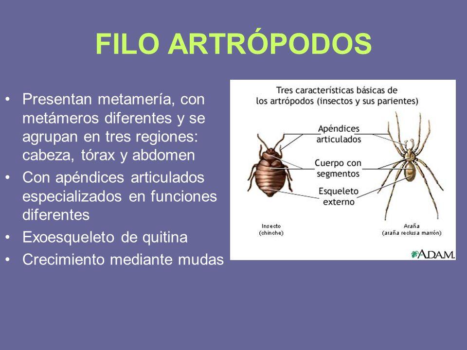 FILO ARTRÓPODOS Presentan metamería, con metámeros diferentes y se agrupan en tres regiones: cabeza, tórax y abdomen Con apéndices articulados especia