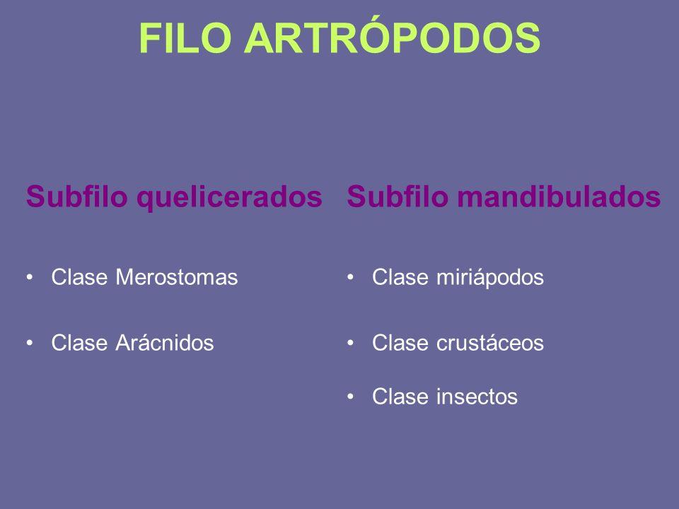 FILO ARTRÓPODOS Subfilo quelicerados Clase Merostomas Clase Arácnidos Subfilo mandibulados Clase miriápodos Clase crustáceos Clase insectos