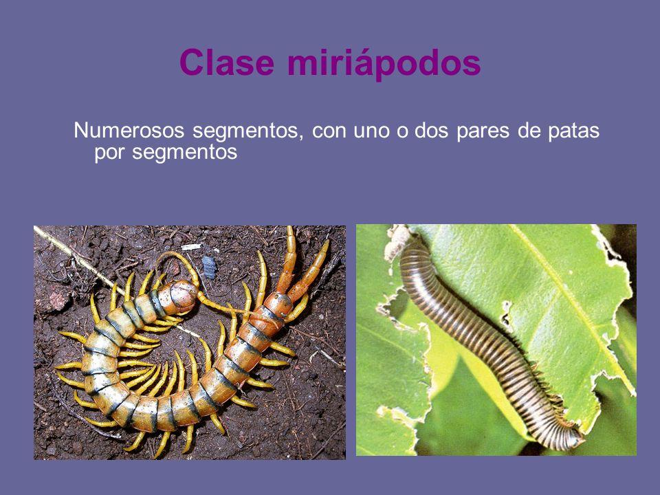 Clase miriápodos Numerosos segmentos, con uno o dos pares de patas por segmentos