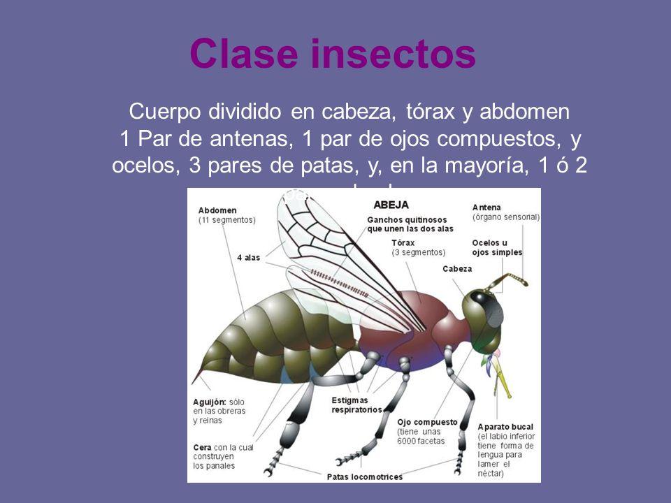 Clase insectos Cuerpo dividido en cabeza, tórax y abdomen 1 Par de antenas, 1 par de ojos compuestos, y ocelos, 3 pares de patas, y, en la mayoría, 1