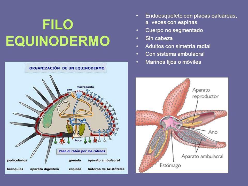 FILO EQUINODERMO Endoesqueleto con placas calcáreas, a veces con espinas Cuerpo no segmentado Sin cabeza Adultos con simetría radial Con sistema ambul