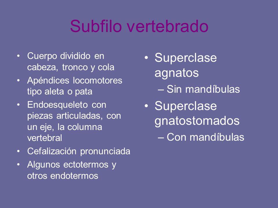 Subfilo vertebrado Cuerpo dividido en cabeza, tronco y cola Apéndices locomotores tipo aleta o pata Endoesqueleto con piezas articuladas, con un eje,
