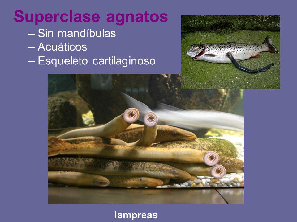 Superclase agnatos –Sin mandíbulas –Acuáticos –Esqueleto cartilaginoso lampreas
