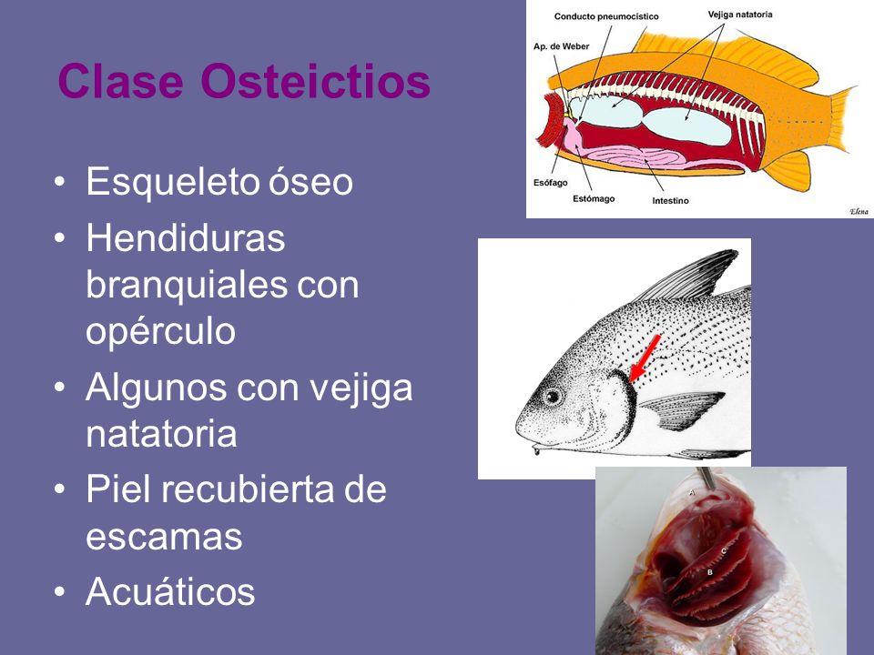 Clase Osteictios Esqueleto óseo Hendiduras branquiales con opérculo Algunos con vejiga natatoria Piel recubierta de escamas Acuáticos