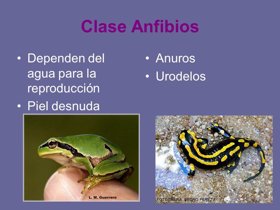 Clase Anfibios Dependen del agua para la reproducción Piel desnuda Anuros Urodelos