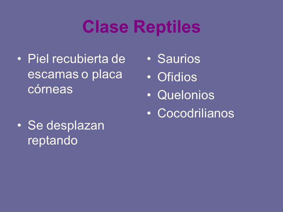 Clase Reptiles Piel recubierta de escamas o placa córneas Se desplazan reptando Saurios Ofidios Quelonios Cocodrilianos