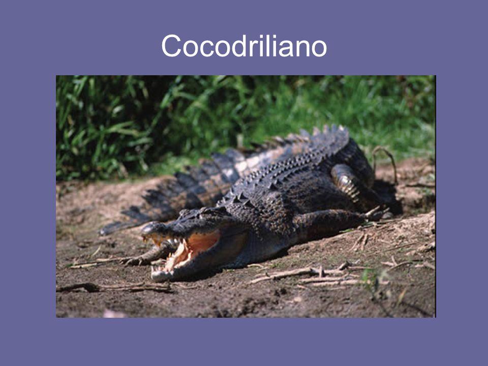 Cocodriliano