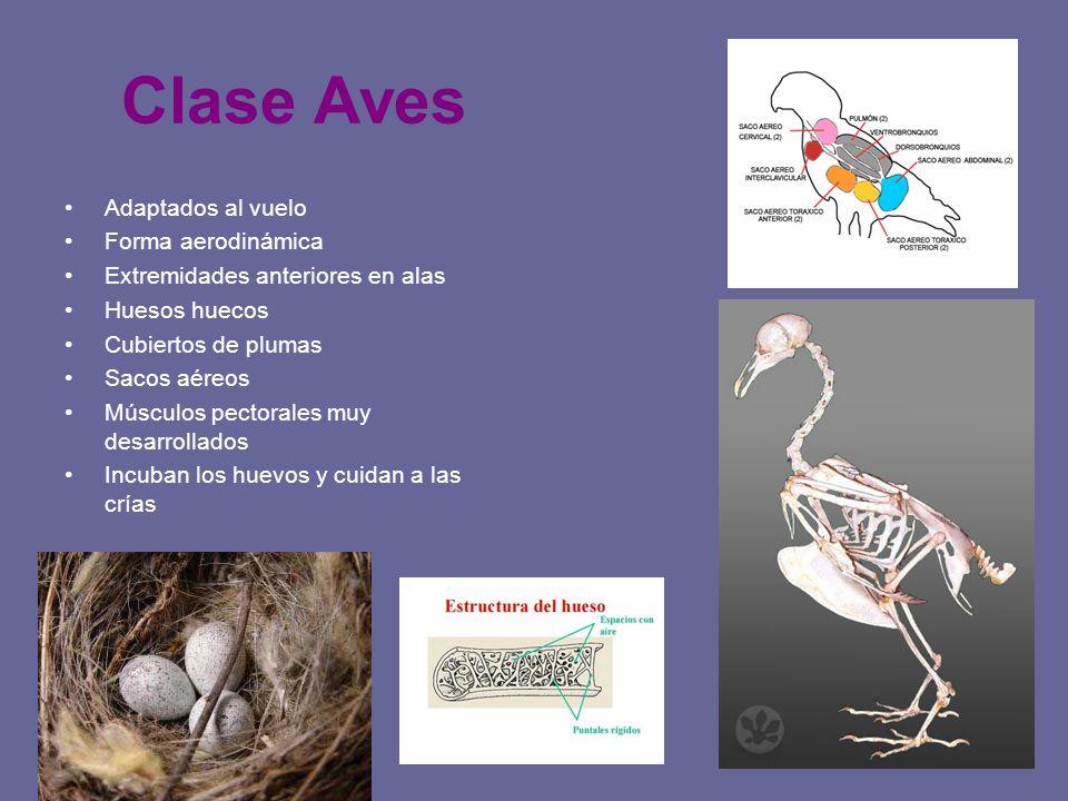 Clase Aves Adaptados al vuelo Forma aerodinámica Extremidades anteriores en alas Huesos huecos Cubiertos de plumas Sacos aéreos Músculos pectorales mu